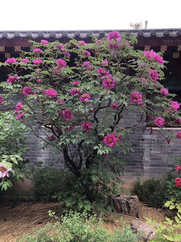 中川树牡丹